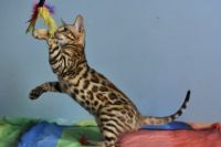 Bengal cat Polly Aeni Bengal*Pl